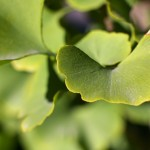 Ginkgo biloba no boost for a failing mind